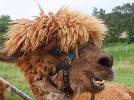 アルパカ・・・毛、刈られちゃったw