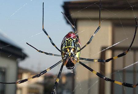 女郎蜘蛛-ジョロウグモ